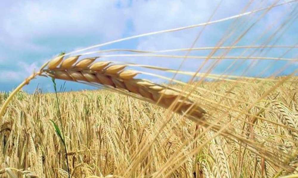 Bin 800 liraya ürettiğimiz buğdayı, 2 bin 450 liraya ithal edeceğiz!