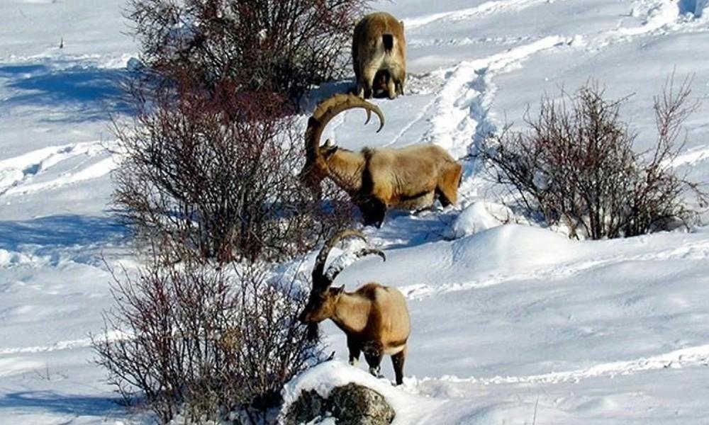 Bu kez de Erzincan'daki 10 dağ keçisinin avlanması için ihale açıldı: Öldürmek için kurs ücreti verecekler