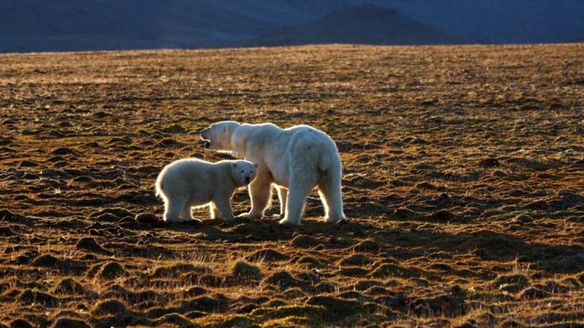 Buz tabakalarının erimesi sonucu aç kalan kutup ayısı bir kişiyi öldürdü