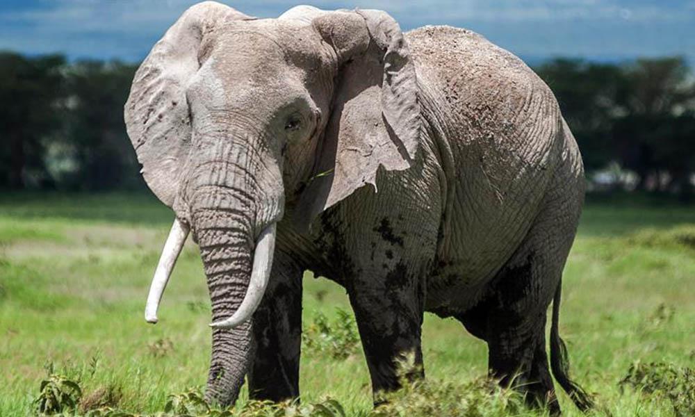 Gizemli bir hastalık nedeniyle 34 fil telef oldu!
