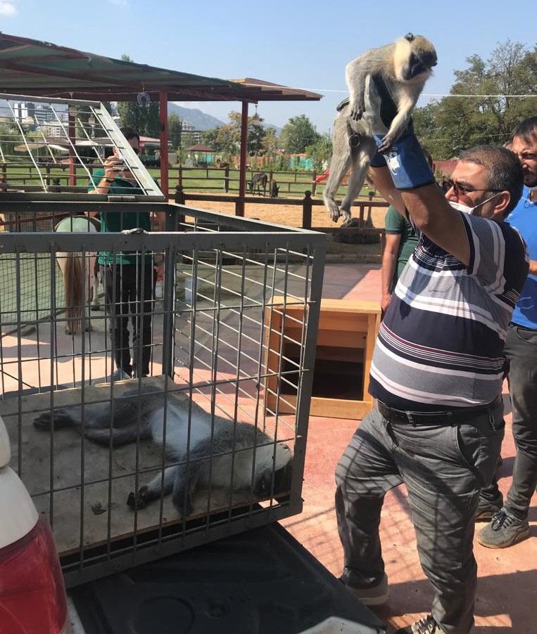 Yasa dışı bulundurulan 2 maymun korumaya alındı