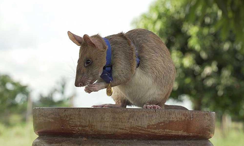 Kahraman fare cesaret madalyası kazandı