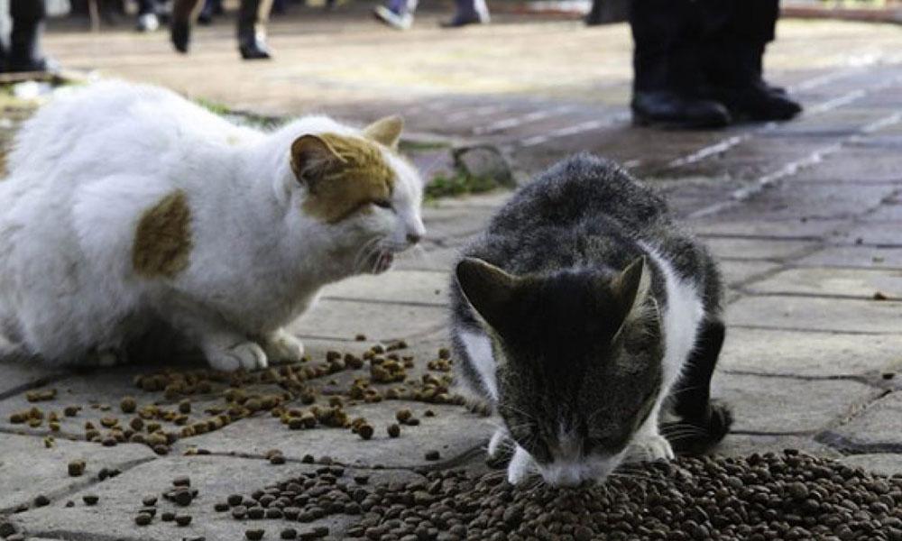 Galatasaray Üniversitesi gözünü kedilere dikti! Kampüste kedi beslemek yasaklandı