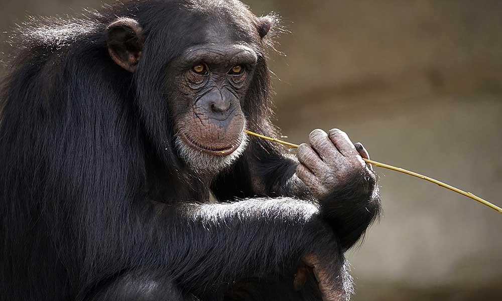 Bir ülke maymunlar için referanduma gidiyor