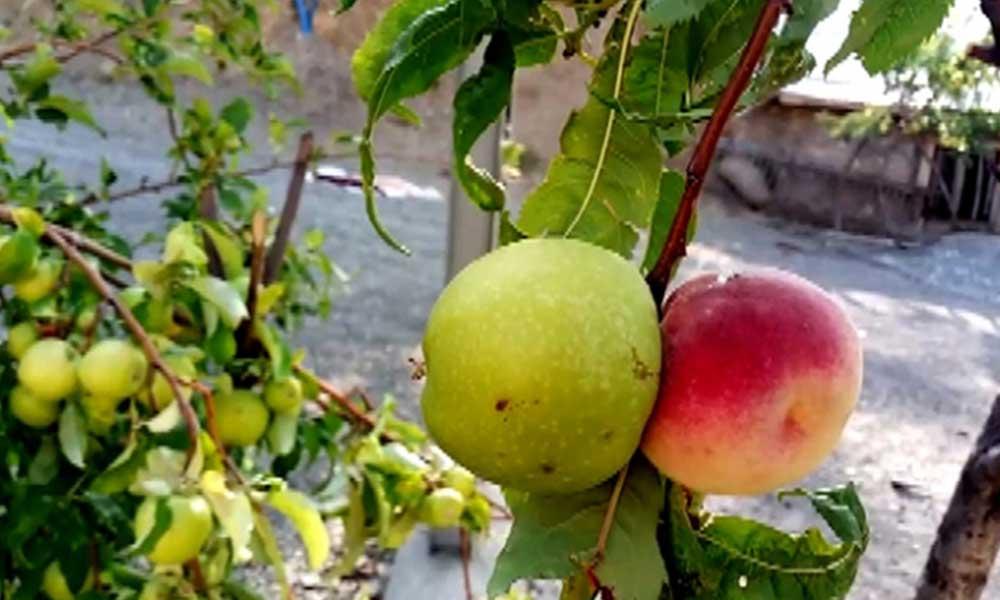 Görenler şaşırdı: Bir ağaçta iki farklı meyve yetişti