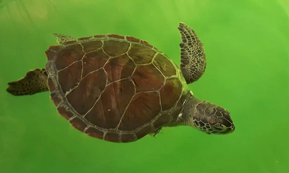 Hayalet ağ ve misina, nesli tükenmekte olan deniz kaplumbağalarının yüzgecini kopardı