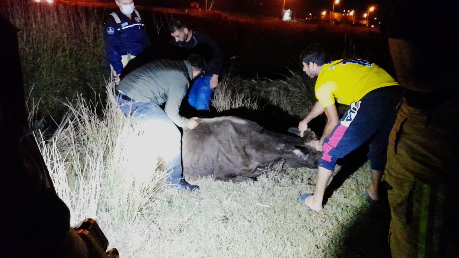 Silivri'de kanala düşen inek itfaiye ekiplerince kurtarıldı