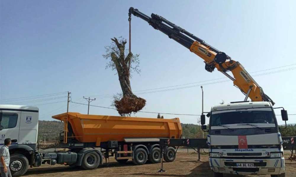600 yıllık ağaçlar kurtarıldı