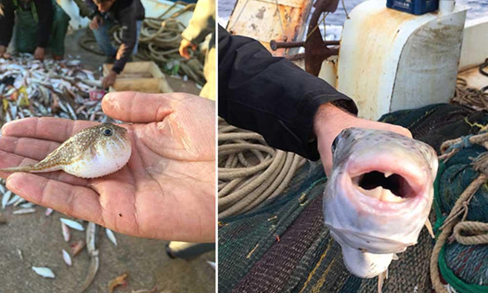Uzman doktor uyardı: Japonlar yiyor diye balon balığı tüketmeyin