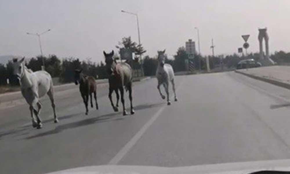Caddede başıboş koşan atlar cep telefonu kamerasıyla görüntülendi