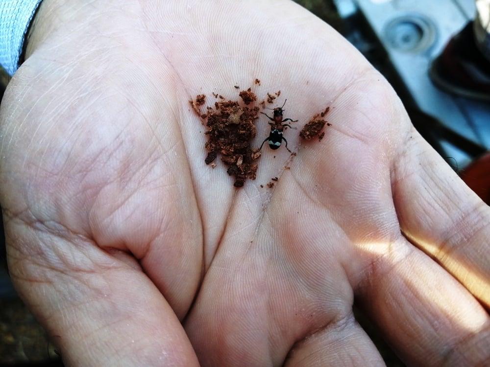 'Terminatör böcekler' Kastamonu'da ormanları koruyacak