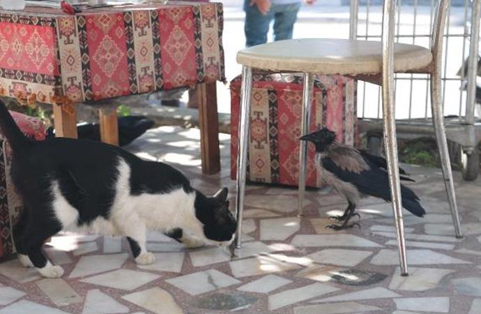 20 kediyle yaşayan karga miyavlamayı öğrendi