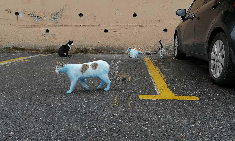 Otoparktaki mavi kediler görenleri şaşkına çevirdi