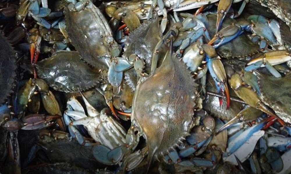 Balıkçıların korkulu rüyası, turistlerin gözdesi: Mavi yengeç
