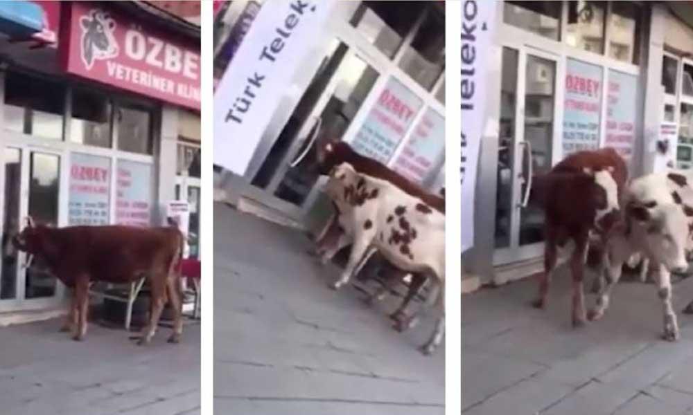 Kars'ta veterinere giden 2 buzağı sosyal medyanın gündemi oldu