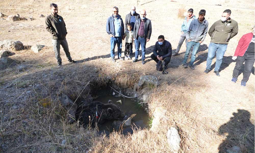 Sarıkamış'ta yaralı halde bulunan boz ayıyı, tavuk etiyle beslemeye çalıştılar