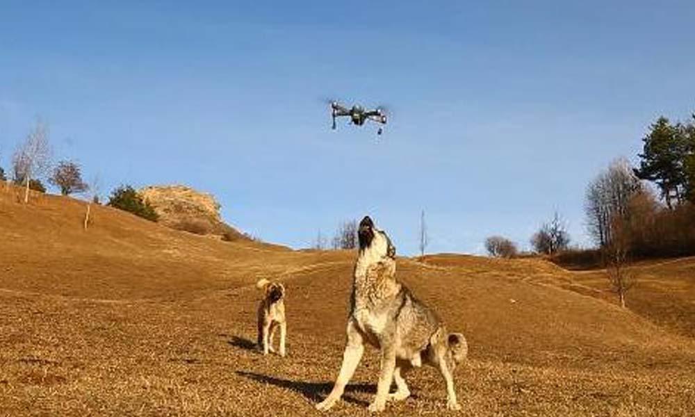 Çoban köpeği dronu havada parçaladı