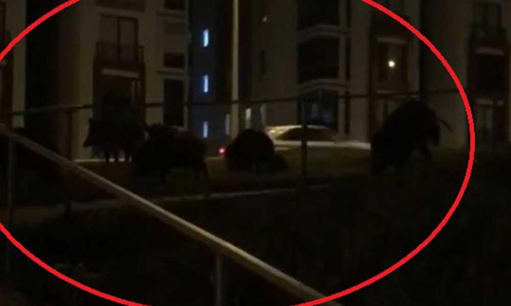 Kent merkezine inen domuz sürüsü cep telefonuyla görüntülendi