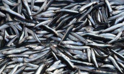 İstanbul Boğazı'nda balık avı yasağı kalktı