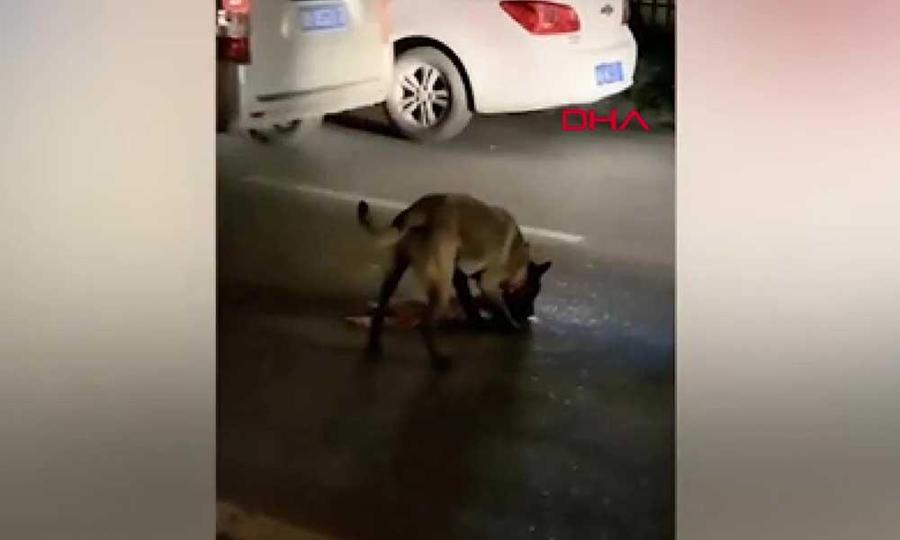 Ölen kediyi ezilmekten kurtarmaya çalıştı