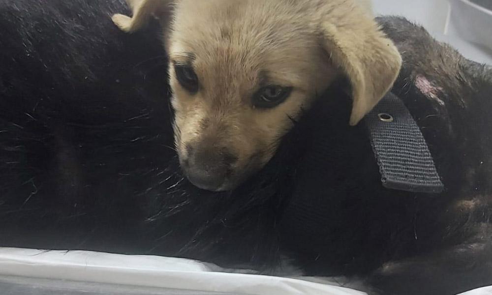 Yaralanan köpeğin yavrusu yanından ayrılmadı