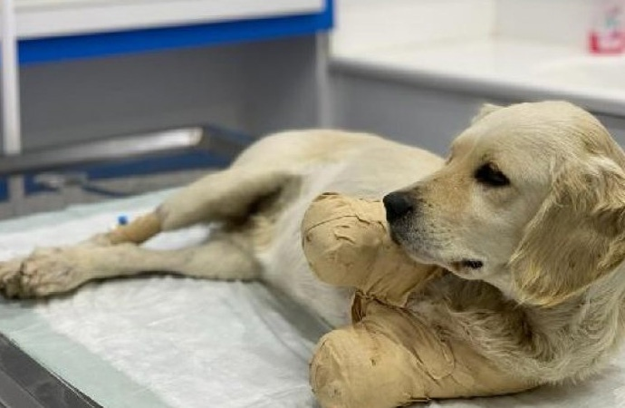 Patileri kesilen köpek hayati tehlikeyi atlattı