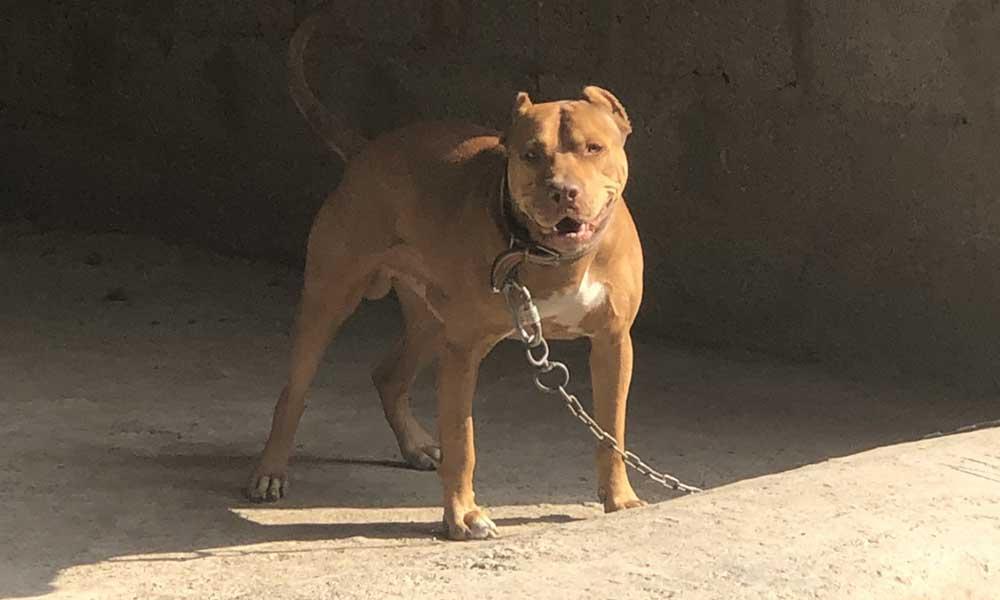 9 pitbull yakalandı… 28 bin lira ceza kesildi