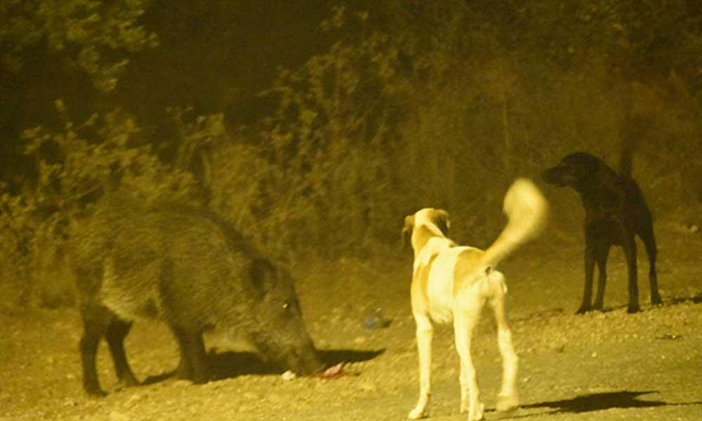 Yaban domuzu ve sokak köpekleri arasında yemek kavgası
