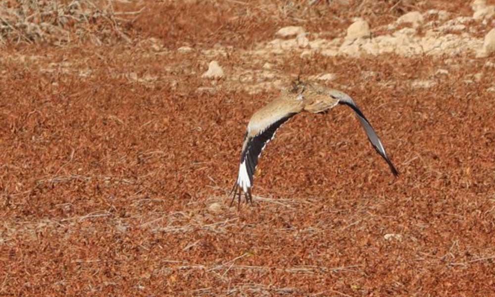 10 günde iyileştirdikleri yaralı kuşu salınca avcılar tarafından öldürüldü