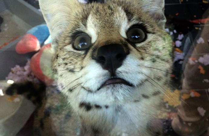 Kaçak olarak getirildi! Afrika vahşi kedisi Sakarya'da ele geçirildi