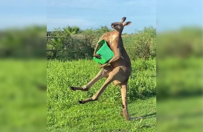 ABD'de kuyruğu üzerinde durabilen kanguru görüntüleri viral oldu