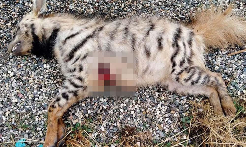 Nesli tükenmekte olan çizgili Anadolu sırtlanı öldürülmüş halde bulundu