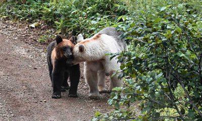 Rusya'da ayıların rengi beyazlamaya başladı