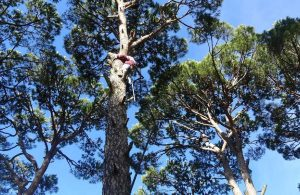 Toplamak için ağaçlara tırmanıyorlar… Kilosu 500 lira