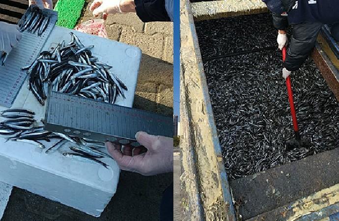 Rize'de 21 ton hamsiye al konuldu