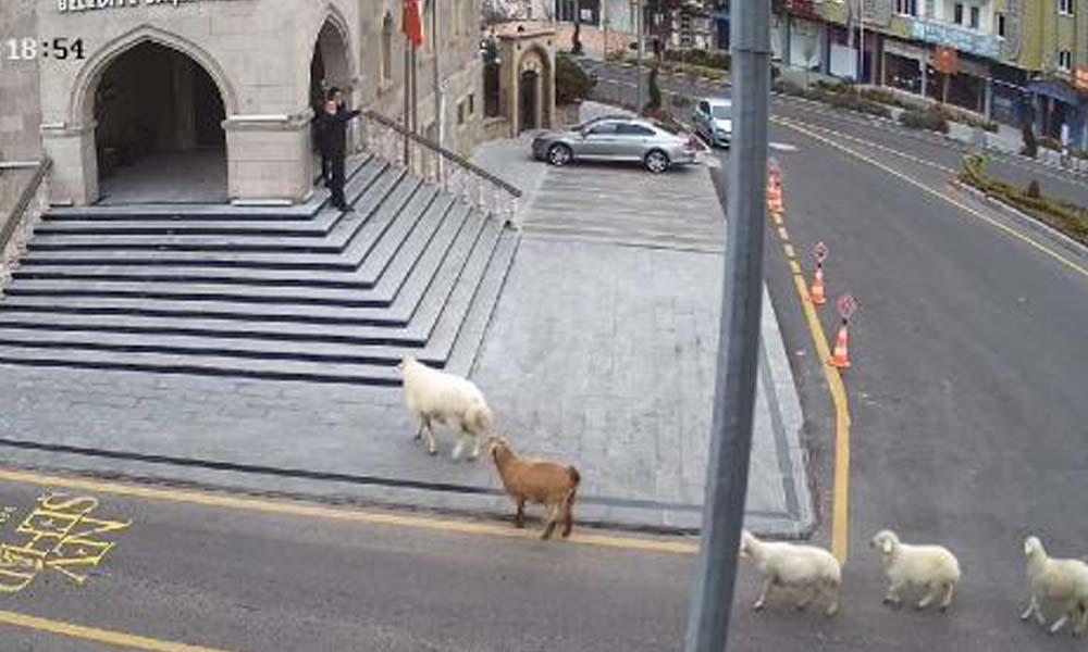 Nevşehir Belediyesi: 1 koyun,1 keçi, 3 kuzu tarafından esir alınmış bulunmaktayız