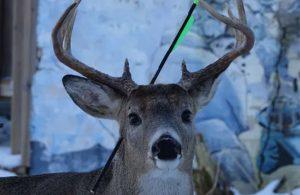 Kanada'da başında okla yaşayan geyik bulundu