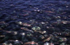 Fırat Nehri'nde yetiştiriliyor dünyaya satılıyor