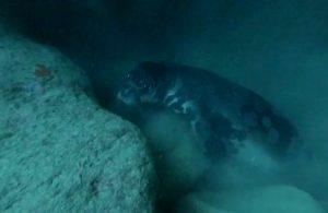 Akdeniz foku, açık denizde ölü bulundu
