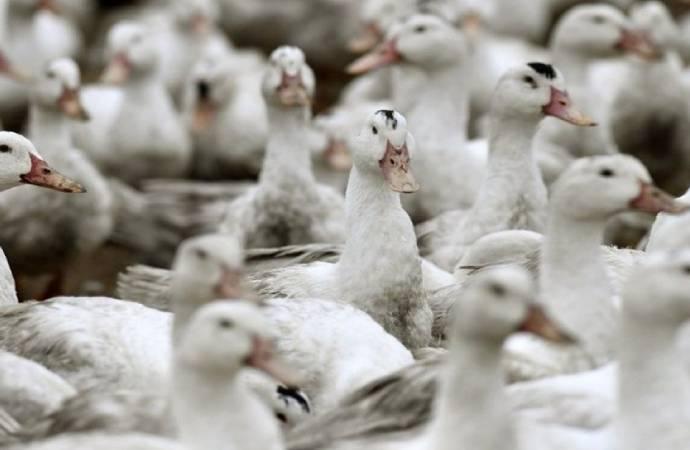 2 milyona yakın ördek öldürüldü!