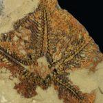 Dünyanın en eski denizyıldızı Fas'ta keşfedildi