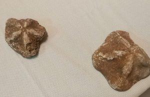 Çanakkale'de 2 milyon yaşında olduğu belirtilen 6 deniz yıldızı fosili ele geçirildi