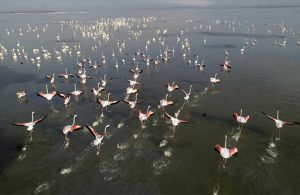Flamingoların görüntüsü görenleri büyüledi