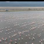 Binlerce flamingo Gala Gölü'ne misafir oldu