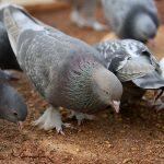 'Türk taklacı güvercini' olduğu tespit edilen Joe, öldürülmekten kurtuldu