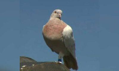 ABD'den Avustralya'ya uçan güvercin koronavirüs gerekçesiyle öldürülecek