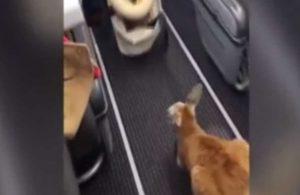 Yolcu uçağında seyahat eden yavru kanguru sosyal medyada gündem oldu