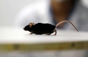 Alman bilim insanları felçli fareyi yürüttü!