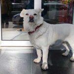 Sahibi tedavi gören Boncuk, 5 gündür hastane kapısında bekliyor