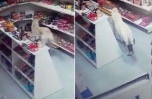 Acıkan köpek marketten bisküvi alıp çıktı… İşte o anlar